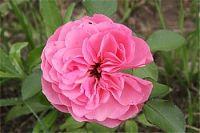 rose Leonard de Vinci