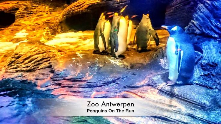 Zoo Antwerpen   (HD) Penguins On The Run   #liveinbelgium #lifeinbelgium #belgium #antwerpen #antwerp #zooantwerpen #zooantwerp #cute #animal #animals #animalsinaction #recommended #visitflanders #flanders #penguin #penguins #placesofinterest #swimming #floating #touristattraction #visitantwerp #visitantwerpen #travel #youtube #video #zoo