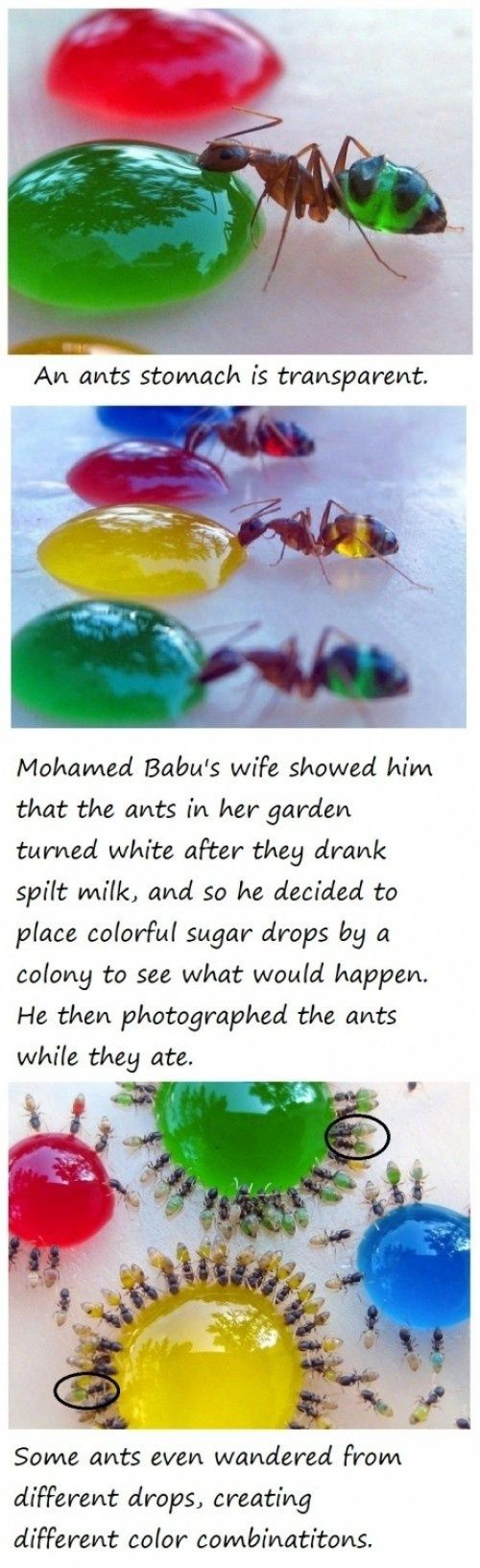 These Rainbow-Colored Transparent Ants Are What They Eat this is AAAWWWW sssoooommmeee!!