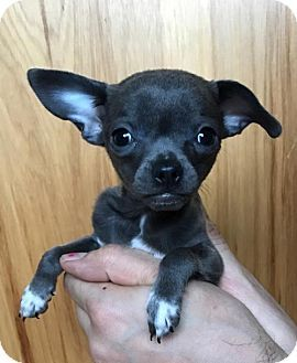 Pictures of Seether a Chihuahua for adoption in Redmond, WA who needs a loving home.