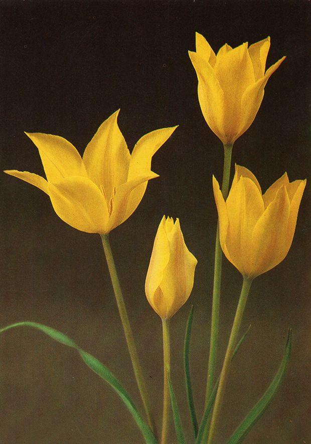Tulip «T. kolpakowskiana»