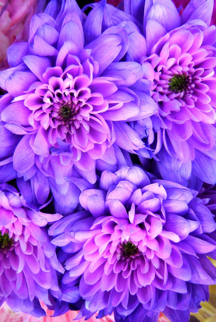 best chrysanthium images on pinterest chrysanthemums pink
