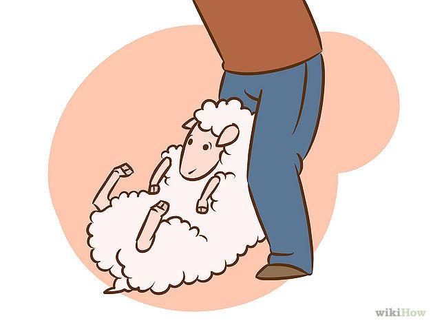 How to Shear a Sheep
