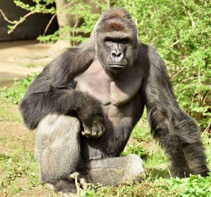 Matan a un gorila en zoológico luego de que niño de 4 años cayera en su recinto. El video es fuerte