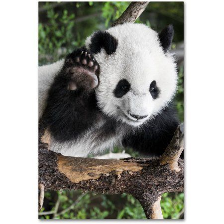 Home In 2020 Panda Baby Panda Giant Panda