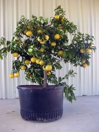 Growing Citrus in Patio Containers