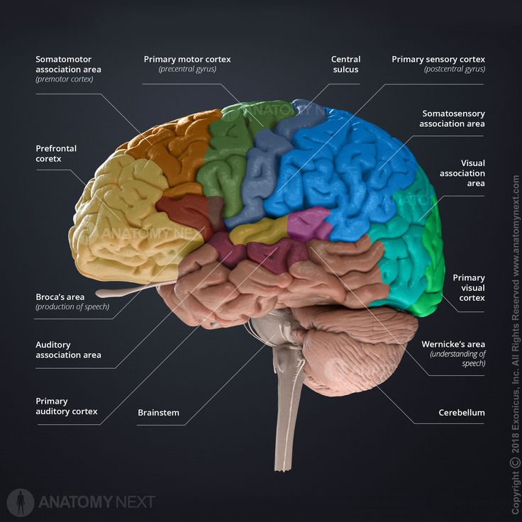 Pin by Ally Reynen on BRAIN | Cerebellum anatomy, Primary ...