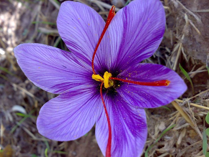 """Saffron (pronounced /ˈsæfrən/ or /ˈsæfrɒn/)[1] is a spice derived from the flower of Crocus sativus, commonly known as the """"saffron crocus"""". The vivid crimson stigmas and styles, called threads, are collected and dried to be used mainly as a seasoning and colouring agent in food. Saffron, long among the world's most costly spices by weight,[2][3][4] was probably first cultivated in or near Greece.[5] C. sativus is probably a form of C. cartwrightianus, that emerged by human cultivators…"""