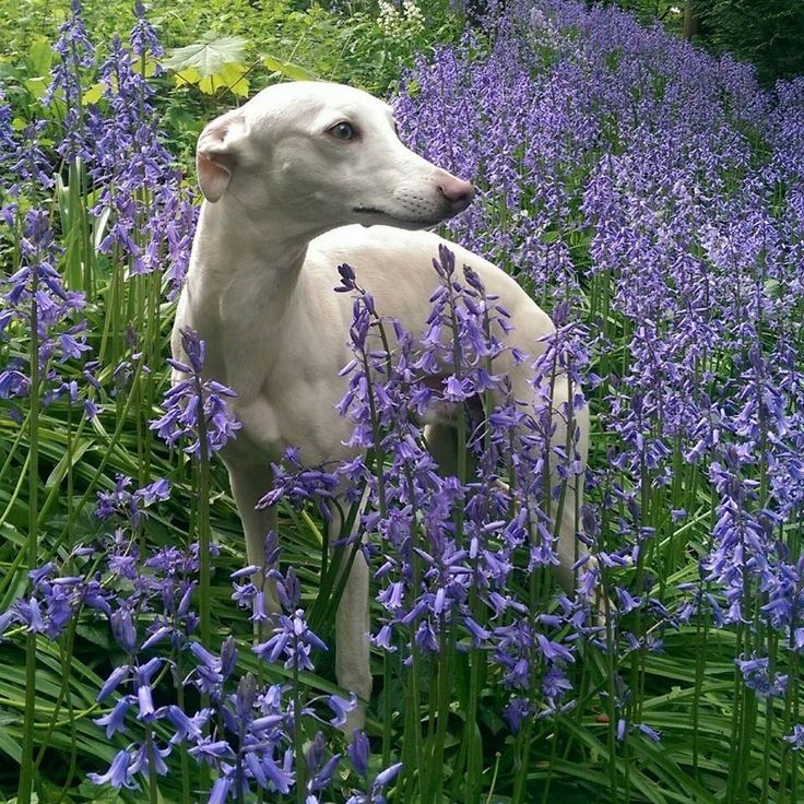 I Heart Whippets Facebook 17 Best images about W...