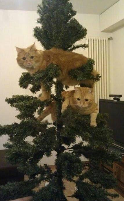 Un poco de confianza... y los gatos se suben al arbol de navidad