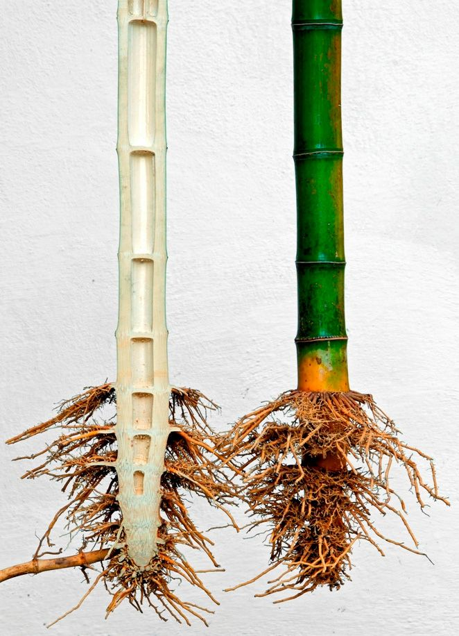 27 Best Bamboo Anatomy Images On Pinterest Bamboo Anatomy And