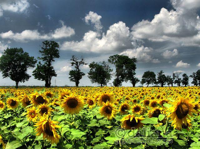 Photographis: Sun Flower Story