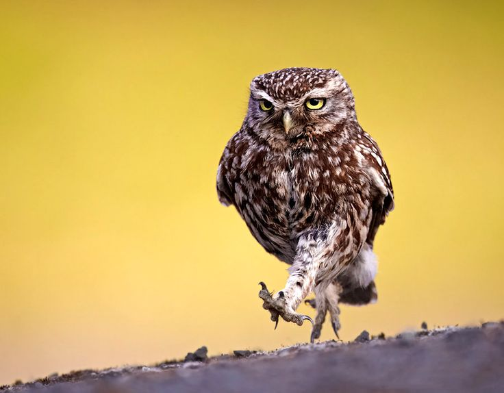 The marching Owl...great shot!