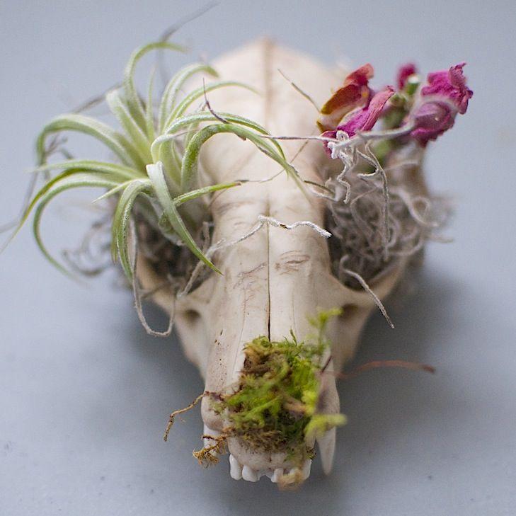 Image of Skull Planter - Raccoon or Coyote Skull Planter
