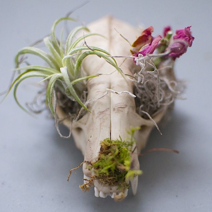 Image of Skull Planter - Raccoon or Coyote Skull Planter