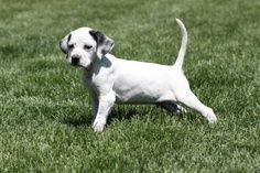 English pointer pup on a first point