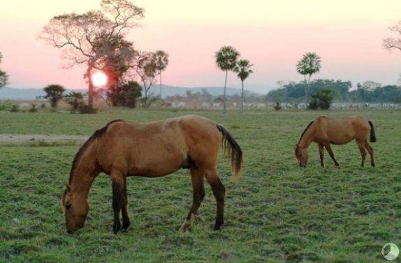 Pantaneiro horse (bogtrotter). Brazil. Cavalo Pantaneiro - Raça se adaptou ao Pantanal - I LOVE MS OFICIAL - Movimento de amor por Mato Grosso do Sul