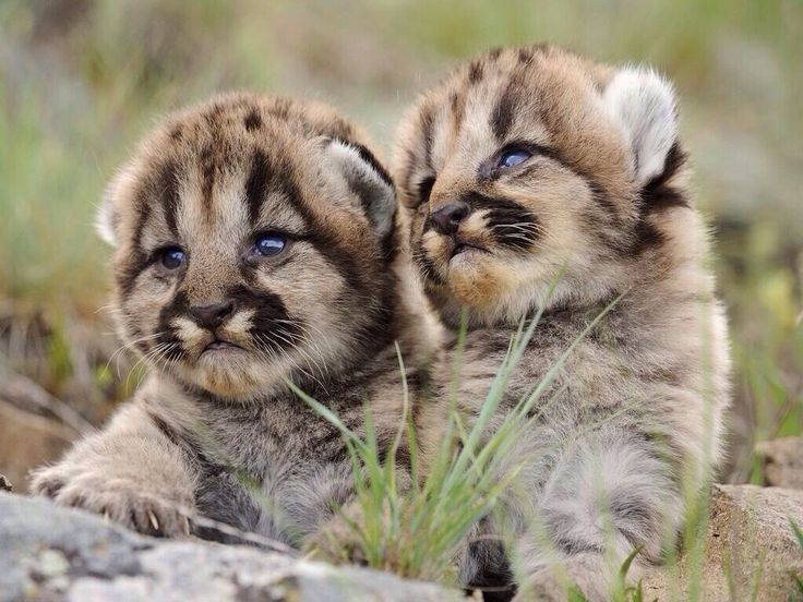 Baby mountain lions