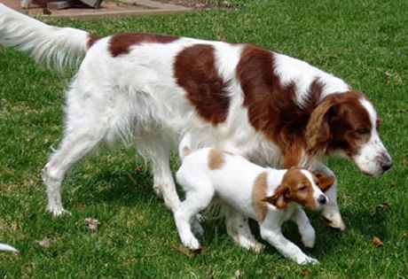 Despite its name, the Irish Red and White Setter is a distinct breed, not just a different colored version of the Irish Setter. Bred primarily for the field, they should be strong, powerful and athletic, with a keen and intelligent attitude. The coat's base color is white with solid red patches.