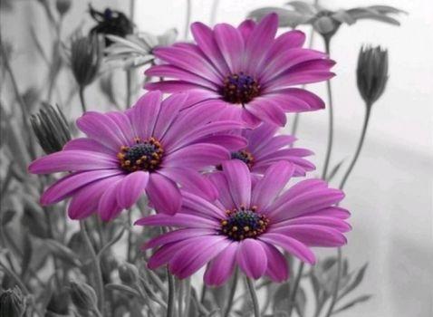 kopretiny v lila barvě... (88 pieces)