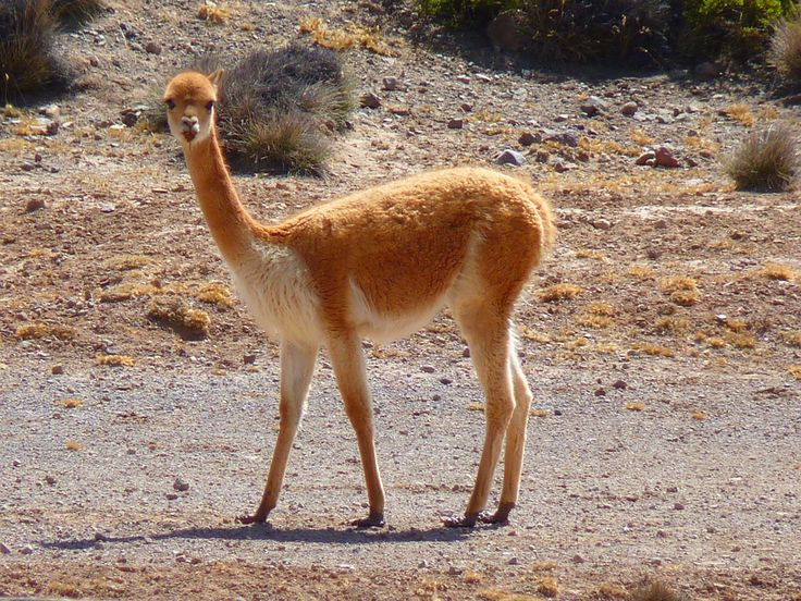 #Vicuña, a living treasure. Protected by the Washington Convention as a threatened species, it was saved by the prudent policy of the Peruvian government and other Andean countries which set up the International Vicuña Consortium, of which #Agnona has the honour of being part