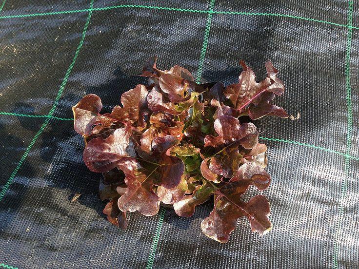 Ortolano a 30 anni: La stagione dei raccolti - insalate e rape