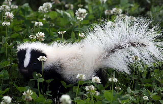 Striped Skunk | Striped Skunk