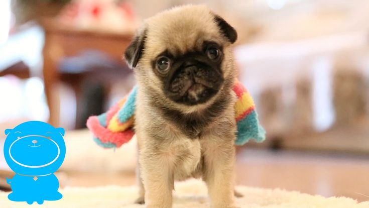 17  best ideas about funny pug videos on pinterest