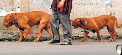 Salman Khan's pet bullmastiffs, Myson and Myjaan. Myjaan died in August 2009. Pic/mid-day archives | #indipin
