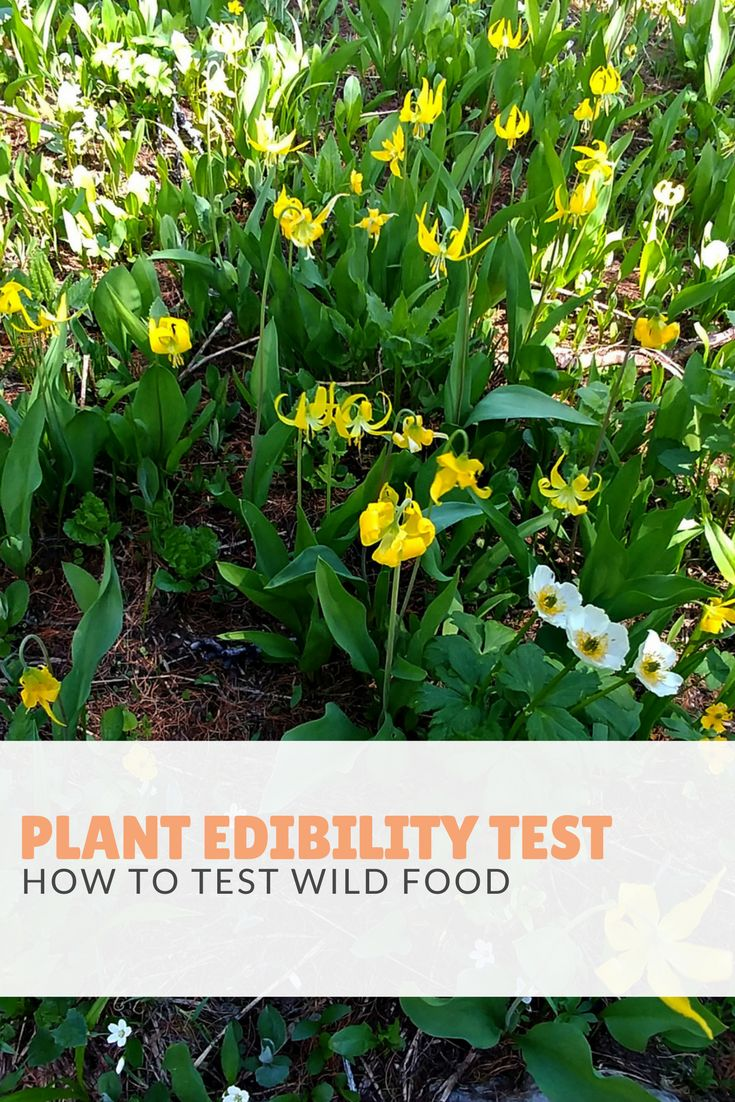 How and when to conduct the plant edibility test to determine if they are safe to eat. In a survival situation, this can be vital knowledge to have!