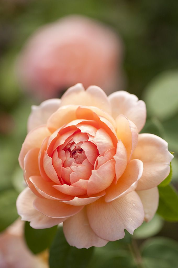 Shrub rose 'Carding Mill'