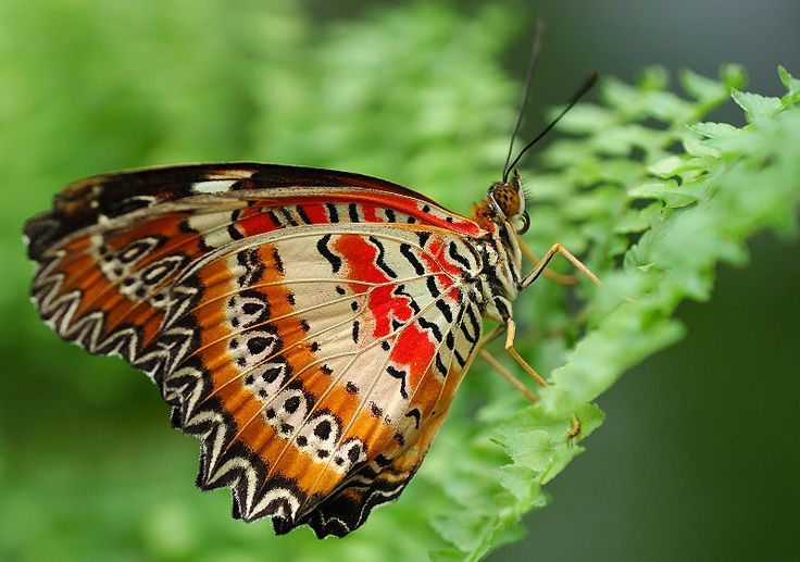The Underside Wings of a male Leopard Lacewing Butterfly. Gorgeous!