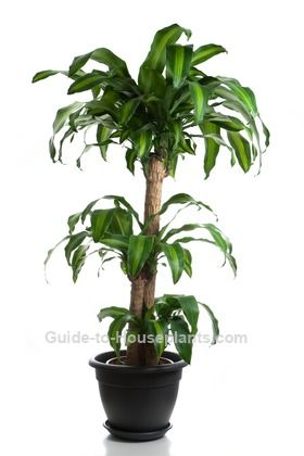 Mass Cane  - Cleans indoor air  - Bright light, will tolerate low light  - Spring through fall keep the soil moist but not soggy, in the winter allow top 2in of soil to dry between watering