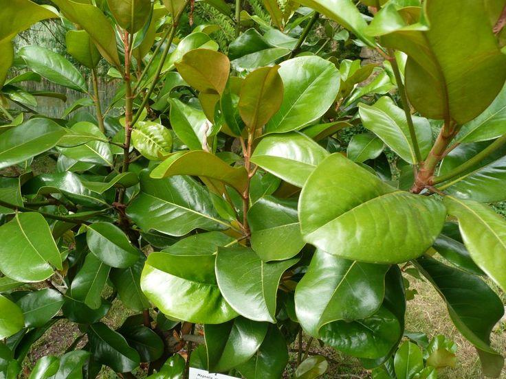 Magnolie Kleinwüchsig 15 besten magnolien außergewöhnliche blütenpracht für den garten