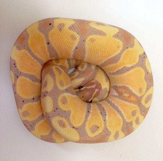 ボールニシキヘビ 🍌Banana 1.0