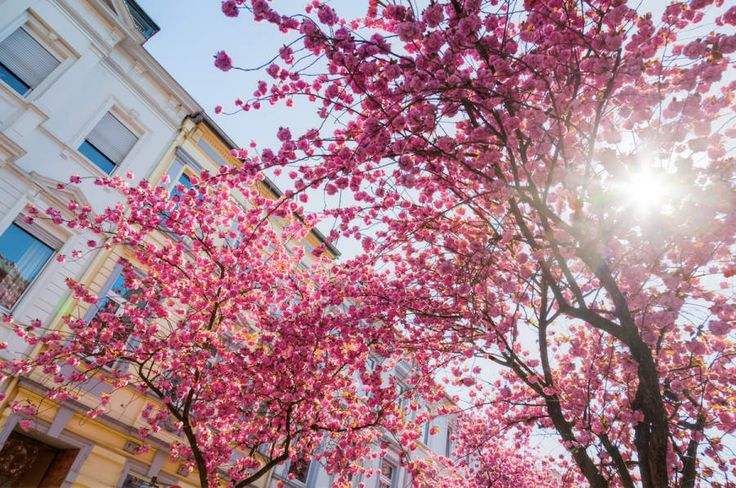 Germany Blossoms Buildings Sun