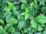 Getting rid of poison ivy plants