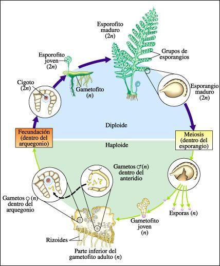 Ciclo reproductivo de las plantas con flores pdf