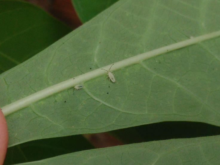 Para combatir la mosca blancaen el huerto, lo primero es la prevención. Y si se ha producido ya el ataque de mosca blanca te vamos a explicar lo que hacer. Descripción de la plaga La mosca blanca …