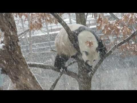 1/7/2107 ON S SNOWY DAY AT THE NATIONAL ZOO. TIAN TIAN HAS FUN IN THE SNOW