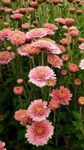 Flowerbed of Asters