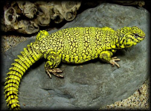 Uromastyx - A genus of lizards (agamids) commonly called dragons - Saharan Uromastyx - Uromastyx geryi - (yellow phase)