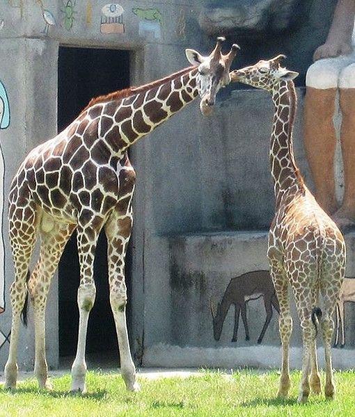 Detroit Zoo giraffes
