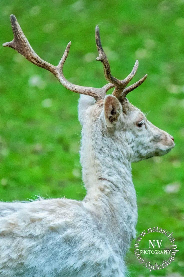 Le Cerf, animal majestueux...