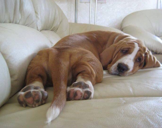 basset hound sleep awkward /    The 10 Most Awkward Basset Hound Sleeping Positions