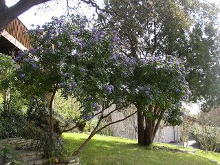 texas mountain laurel.  purple blooms that smell like grape kool-aid, if reports are correct!  shrub or small tree, evergreen.