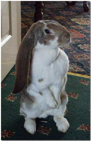 English Lop sitting pretty / Oh how lovely. Really want some of these.