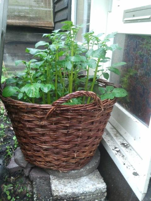 Aardappeloogst vergroten.  - Ik heb de aardappelen in een flinke laag grond gepoot maar niet de mand helemaal gevuld met aarde. { lees verder op de blog!}