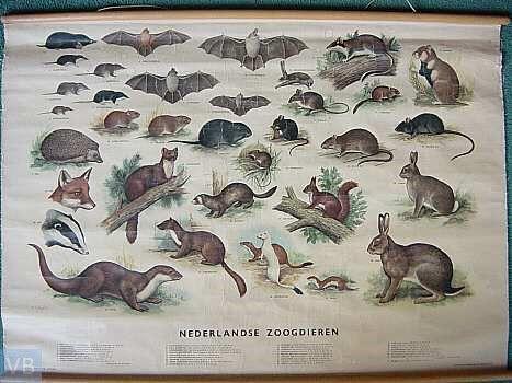 ONDERWIJSGESCHIEDENIS  een kaart van de Nederlandse zoogdieren.