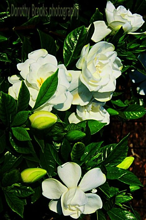 By Julie Christensen Gardenias (Gardenia jasminoides), with their fragrant, waxy blossoms, rank among the queens of the flower garden. Unfortunately, they're a bit tricky to grow – and that's if yo...